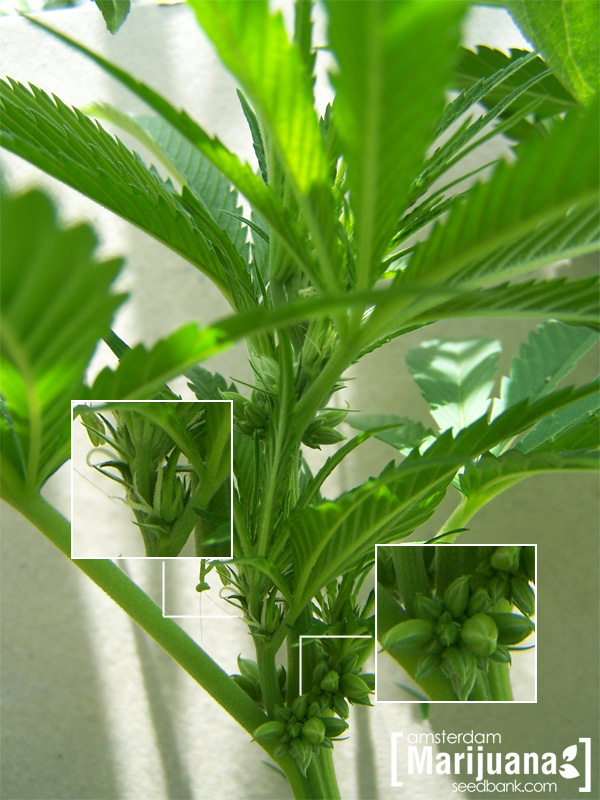 Cannabis male and female marijuana plants what 39 s the for Plante hermaphrodite
